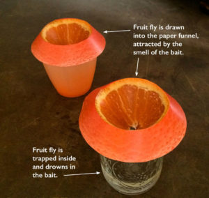 fruit flies trap